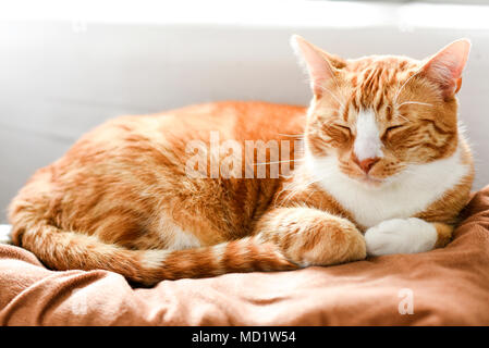 Ginger cat sleeping on the couch at home, a beautiful house cat. - Stock Photo