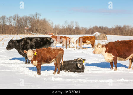 A small herd of beef cows and calves sunning themselves and eating hay after a late spring snowstorm. - Stock Photo