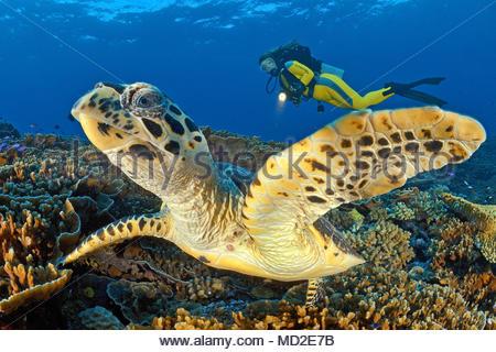 Scuba diver and a Green sea turtle (Chelonia mydas), Ari Atoll, Maldives islands - Stock Photo