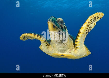 Green sea turtle (Chelonia mydas) in blue water, Ari Atoll, Maldives islands - Stock Photo