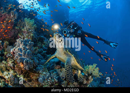 Scuba diver and a Green sea turtle (Chelonia mydas) at a coral reef, Borneo, Malaysia - Stock Photo