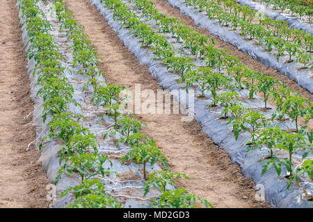 Young tomato plants growing in a greenhouse - Stock Photo