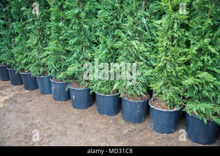 Many Green Hedge of Thuja Trees, or Green hedge of the Tui trees in plastic box for sale - Stock Photo