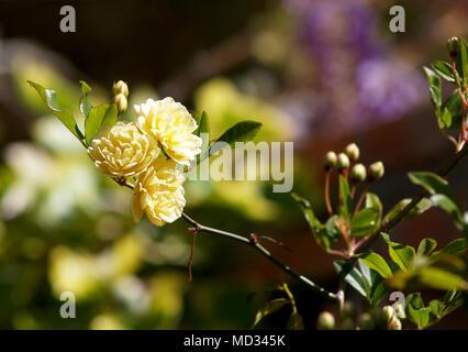 lady banks flowers on greenery - Stock Photo