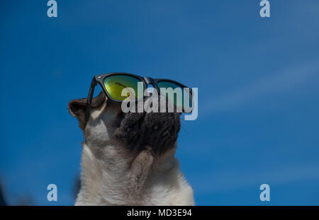 Mousehole, Cornwall, UK. 18th April 2018. UK Weather. Titan the Pug puppy out in his back garden in the bright sunshine on the hottest day of the year so far. Credit: Simon Maycock/Alamy Live News - Stock Photo