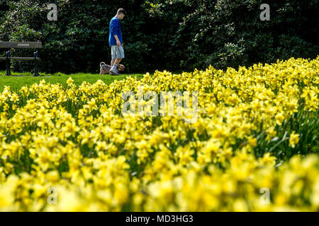 Bolton, UK. 18th April 2018. The forecasted fine sunny weather finally arrived at Bolton's Queen's Park this afternoon. The warm temperatures are expected to stick around for the next couple of days in the North West of England. The glorious display of daffodils sit up and smile in the sunshine as a man walks along with his dog. Picture by Paul Heyes, Wednesday April 18, 2018. Credit: Paul Heyes/Alamy Live News Credit: Paul Heyes/Alamy Live News - Stock Photo
