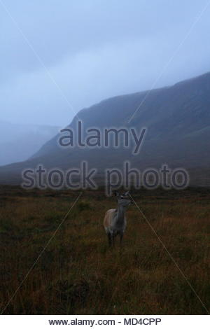 lone deer in the long bracken grass at dusk, Glencoe, highlands, Scotland - Stock Photo
