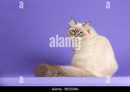 Amazing Siberian cat on purple - Stock Photo