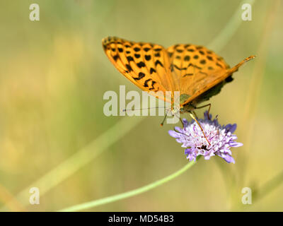 Silver-washed Fritillary butterfly (Argynnis paphia) feeding on scabiosa flower - Stock Photo