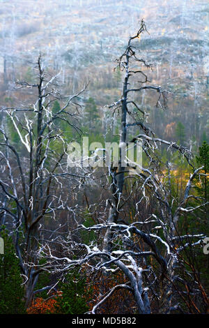 extinction of old forest (centennial pine) as result of air pollution from metallurgical industries, anthropogenic impact - Stock Photo