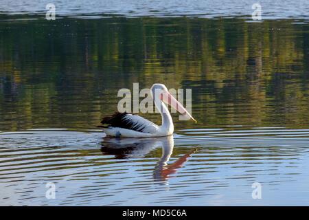 Australian Pelican (Pelecanus conspicillatus) swimming in an estuary, Wingan Inlet, East Gippsland, Australia - Stock Photo