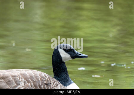 Side portrait of Canada goose (Branta canadensis), in water - Stock Photo