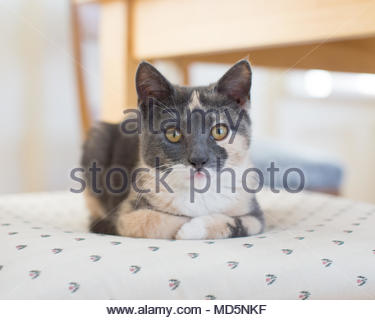 Close-up of muted calico kitten looking at camera with paws curled under chest on chair - Stock Photo