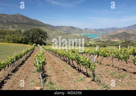Vineyard set below mountains of the Sierra de Grazalema Natural Park, near Zahara de la Sierra, Cadiz province, Andalucia, Spain, Europe - Stock Photo