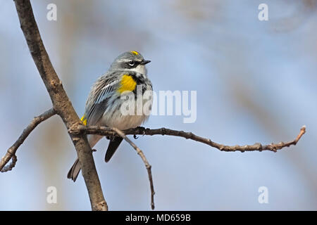 On a chilly morning, a yellow-rumped warbler fluffs its feathers to create a warm blanket for itself. A light blue sky and tan tree branches frame the - Stock Photo