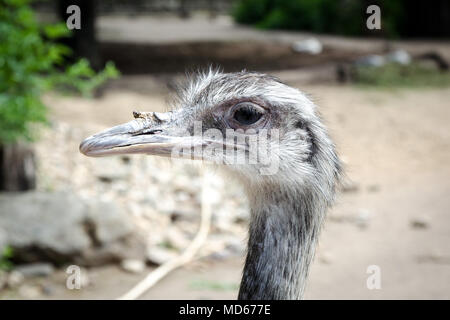Ostrich in zoo - Stock Photo