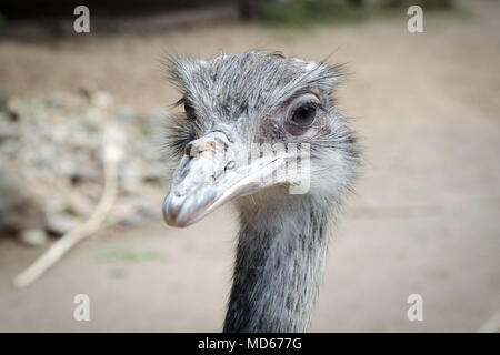 Ostrich looking in camera - Stock Photo