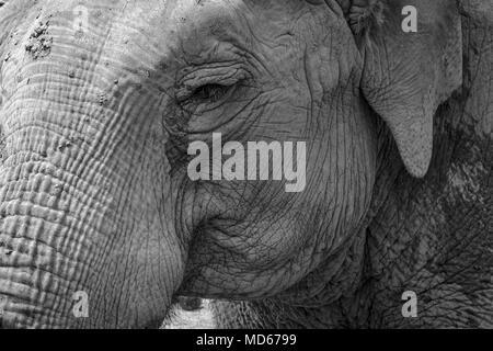 black white elephant in zoo - Stock Photo