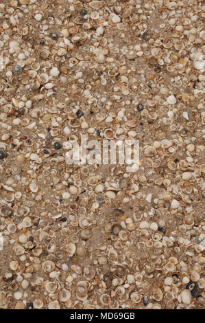 Mulitiple seashells on a beach clustered together looking down from above - Stock Photo