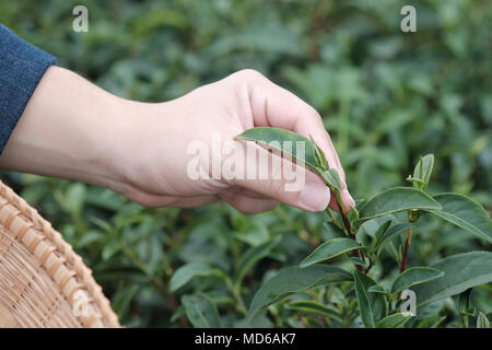 Hand picking up organic tea leaves at a tea plantation for product , Natural selected Agriculture . - Stock Photo