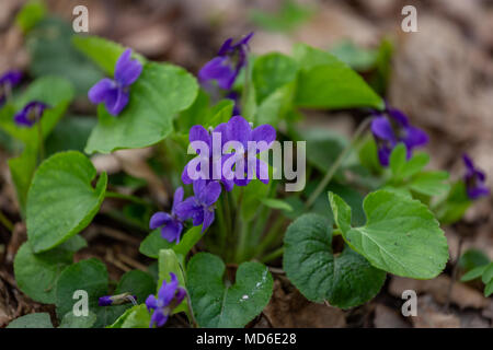 Spring flower in the forest, early spring. Herbaceous perennial plant - Viola odorata wood violet, sweet violet, english violet, garden viole  - Stock Photo