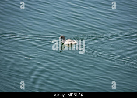 A small duck swimming  & playing in a  water reservoir looking beautiful. - Stock Photo