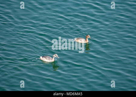 A couple of small duck swimming  & playing in a  water reservoir. - Stock Photo