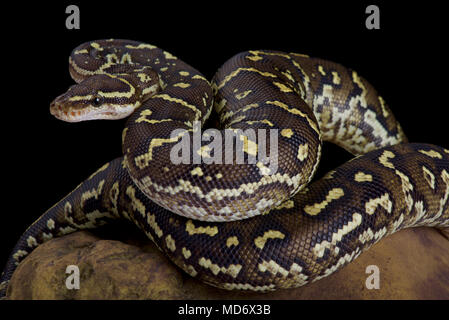 The Angola python, Python anchietae, is a rarely seen python species found in Angola and the extreme north of Namibia. - Stock Photo