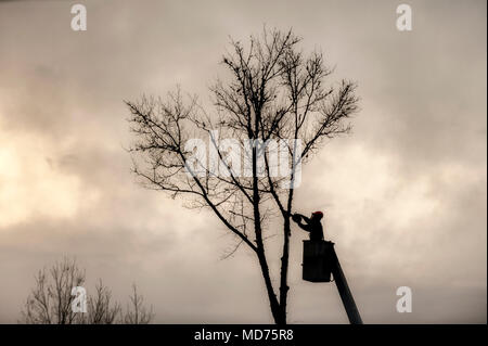 A tree trimmer is silhouetted as he starts taking down a dead tree. - Stock Photo