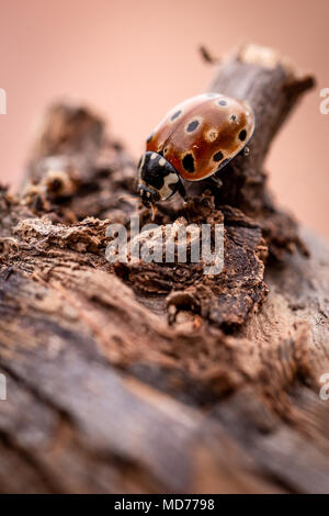 Vertical photo with single orange ladybug. The insect has few black dots and black had with white spots. Ladybug is on piece of very old and worn piec - Stock Photo