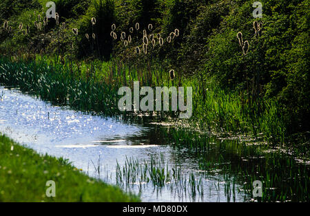 Reen, Reeds, Kenfig National Nature Reserve, Gwent Levels, Wales, UK, GB. - Stock Photo