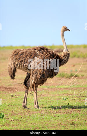 South African ostrich (Struthio camelus australis), adult, female, Kruger National Park, South Africa - Stock Photo