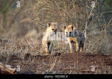 Spotted hyena (Crocuta crocuta), two young animals, alert, curious, siblings, Kruger National Park, South Africa - Stock Photo