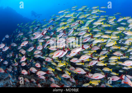 Mixed shoal of Bluestripe snapper (Lutjanus kasmira) and Humpback Red Snapper (Lutjanus gibbus), Indian Ocean, Maldives - Stock Photo