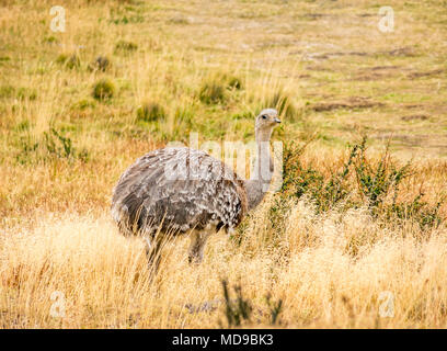 Darwin's rhea, or lesser rhea, Rhea pennata, with grass in mouth, Torres del Paine National Park, Patagonia, Chile, South America - Stock Photo