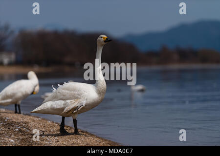 Group of whooper swans (Cygnus) on blue lagoon or lake water in sunny day - Stock Photo