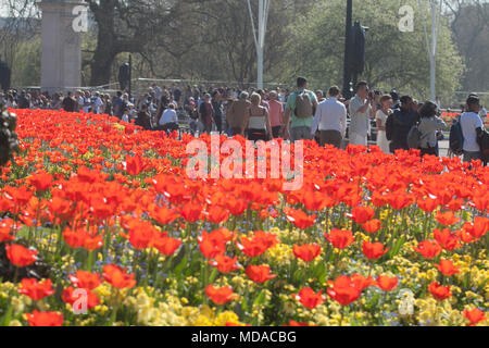 London UK. 19th April 2018. UK Weather: Pedestrians walk past a bed of red tulips bathed in spring sunshine  opposite Buckingham Palace. Today has been the hottest day in April recorded since 1949m Credit: amer ghazzal/Alamy Live News - Stock Photo