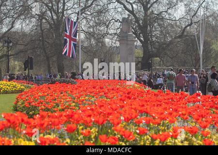 London UK. 19th April 2018. UK Weather: Pedestrians walk past a bed of red tulips bathed in spring sunshine  opposite Buckingham Palace. Today has been the hottest day of the year Credit: amer ghazzal/Alamy Live News - Stock Photo