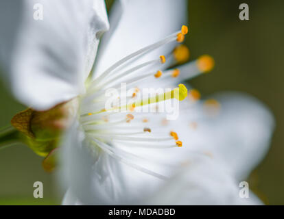 19.04.2018, Brandenburg, Markendorf: The detail of a Susskirschblute shows the stamp (M), also called scar, surrounded by the small yellow stamens and the white petals on a fruit orchard in Markendorf, a district of Frankfurt (Oder). Photo: Patrick Pleul/dpa-Zentralbild/ZB | usage worldwide - Stock Photo
