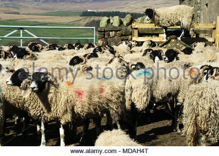 Holwick, Middleton-in-Teesdale, Co Durham, UK 19th April 2018. A warm and sunny day in Teesdale, gives ideal weather conditions for the Swaledale sheep, gathererd in for branding, before being released on the fells of the North Pennine hills for grazing. Credit Jim Nicholson/ Alamy Live News - Stock Photo