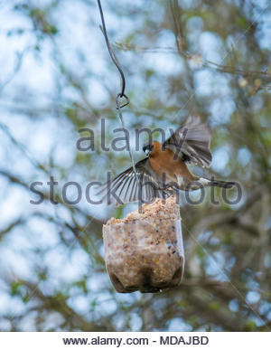 East Lothian, Scotland, United Kingdom, 19th March 2018. Springtime birds at a fat ball feeder on the Longniddry to Haddington railway path. A male chaffinch landing on the bird feeder with wings outstretched - Stock Photo