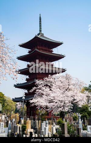 Five-storied pagoda and Cherry blossom, Ikegami Honmonji temple, Ota-Ku, Tokyo, Japan - Stock Photo