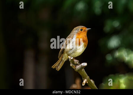 The European robin, known simply as the robin or robin redbreast in the British Isles, is a small insectivorous passerine bird, specifically a chat. - Stock Photo