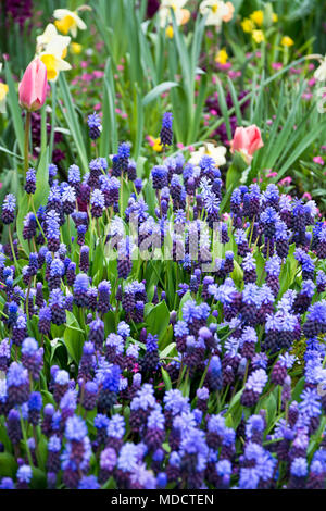 Bicolored grape hyacinths, Muscari Latifolium, in the garden.  Two toned grape hyacinth flowers blooming in the Spring. - Stock Photo