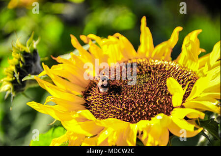 Close up of a bee on a sunflower (Helianthus annuus). Diaphanous wings shimmer on bright yellow flower, on green bokeh background - Stock Photo