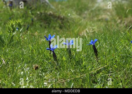 Blue spring gentian (Gentiana verna) flowers in the grass on the mountain Durmitor in Montenegro - Stock Photo