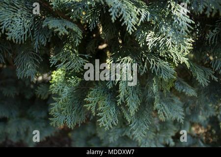 Close up of white cedar bush, almost grey in color. In Sweden. - Stock Photo