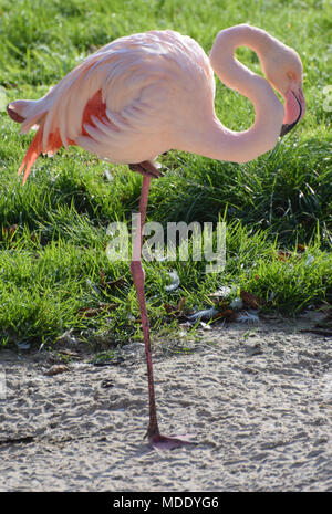 A Greater Flamingo standing on one leg - Stock Photo