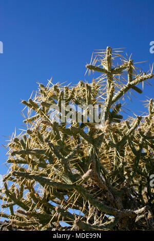 Opuntia ramosissima. Branched Pencil Cholla - Stock Photo