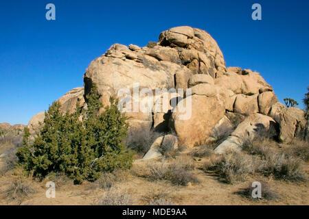 Many Branches Joshua Tree Yucca Brevifolia Mojave Desert Joshua Tree National Park California - Stock Photo